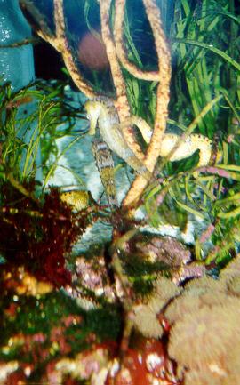 http://muosc.tripod.com/sitebuildercontent/sitebuilderpictures/seahorse.jpg